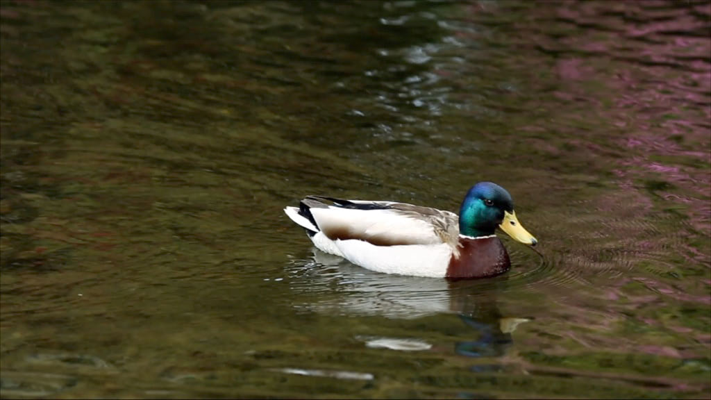 Video of a duck swimming in a pond