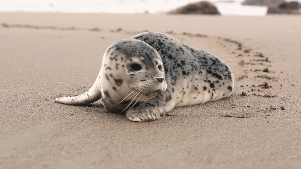 Gray seal pup on the Cape Blanco beach